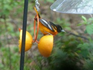 Baltimore Oriole 5-12-2013 3-28-59 AM 480x360