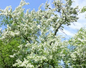 Profuse blossoms on 2013 fruit trees