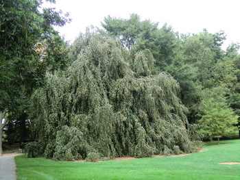 04-Brooklyn-BG-weeping-beech-2-1-2013-6-19-54-AM-3648x27361