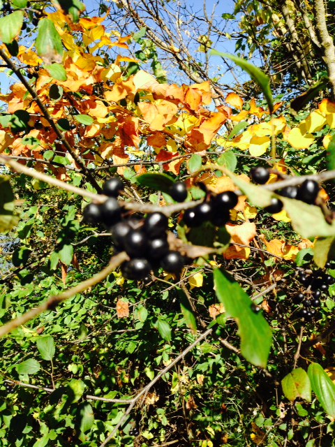 Buckthorn's black berries, full of seeds that birds eat and excrete, thus spreading the tree everywhere.