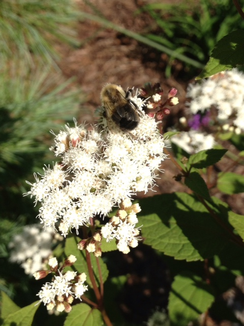 White snakeroot with bee Eupatorium 9-24-2013 10-40-23 AM 480x640