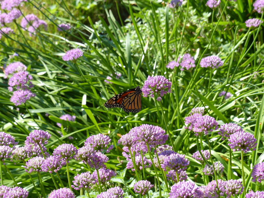 Monarch on Allium Summer Beauty 7-23-2015 7-59-03 AM