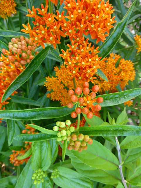 Red Butterfly Milkweed Asclepias Curassavica Red: The Weedpatch Gazette
