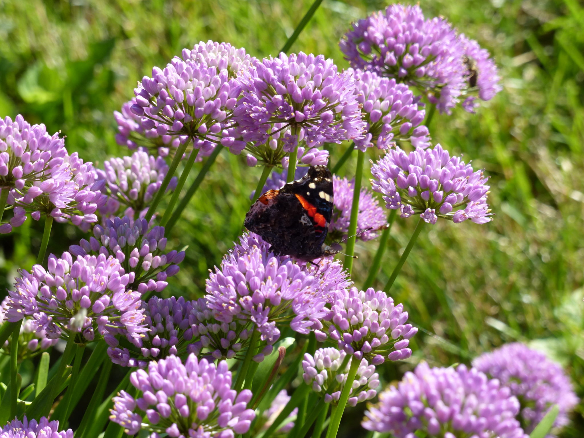Butterfly-Red-Admiral