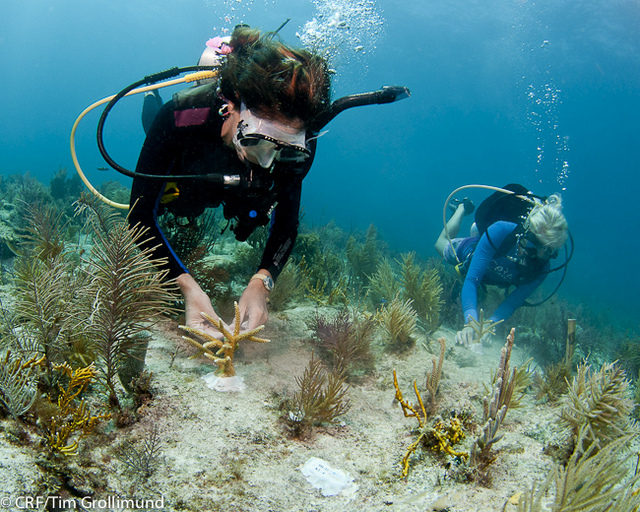 Coral-planting-in-the-keys