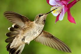Hummingbird-and-columbine