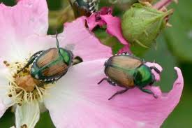 Japanese-beetles-on-roses