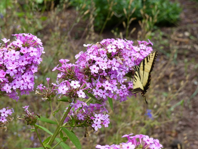 tiger swallowtail on shrub